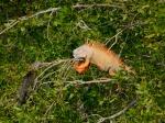 iguanas-Kenzo